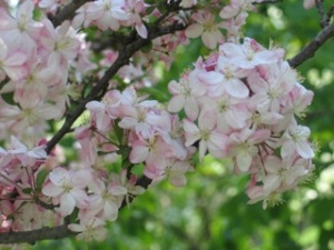 flowering tree in spring